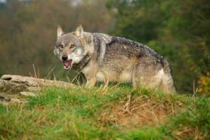 Image of wolf with open mouth on mound near to stone
