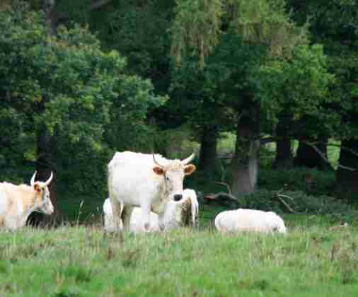 Image of five white wild Chillingham cattle grazing in front of woods