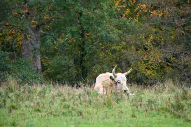 Image of lone white Chillingham wild bull lying in long grass with autumnal trees behind