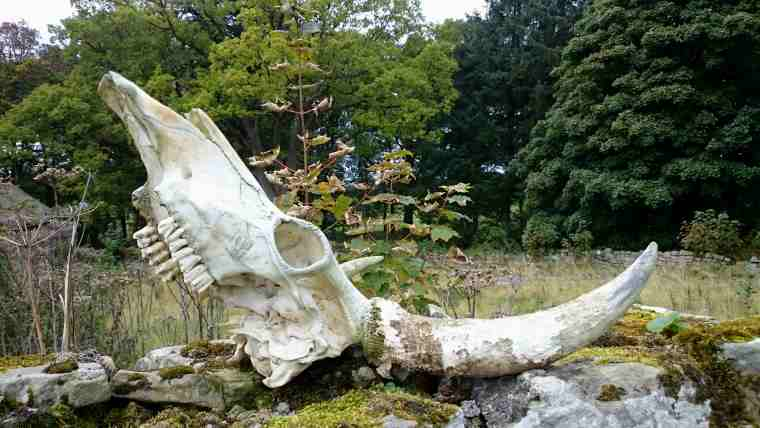 Image of horned white skull of wild Chillingham bull on mossy dry stone wall with woods in background