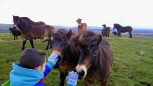 Image of back of girl's head with grey gloved hands stroking two wild Exmoor ponies in small herd on high hilltop with distant view of hills