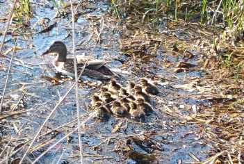 Image of female mallard and 13 ducklings swimming in stream with leaves in water