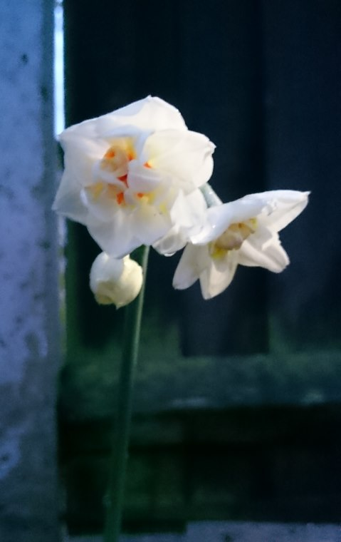 Image of Narcissus flower