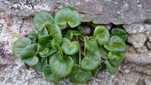 Image of bright green Common Scurvygrass growing in a grey stone wall with 3 snails hiding amongst leaves