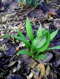 Image of young shoots of wild garlic growing among leaf litter on woodland floor