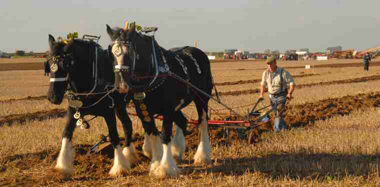 Image of two dark brown cart horses in full tack with brasses pulling plough with man in cap behind in wheat field