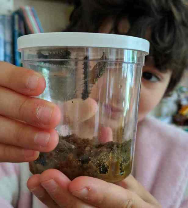 Image close up of plastic lidded pot containing caterpillars, chrysalides and brown sludge caterpillar food