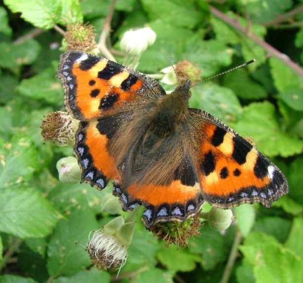 Image of black orange and blue Tortoiseshell butterfly with open wings on bramble bush