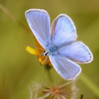Image of pale blue Small Blue butterfly with open wings on grass
