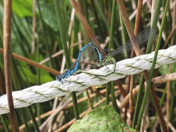 Image of blue and green damselflies mating in heart shape formation on piece of rope next to pond