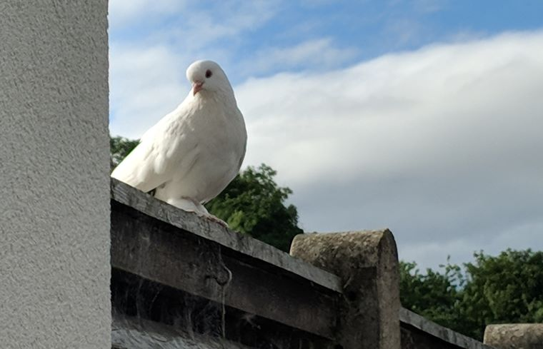 Image of white dove sitting on wooden garden fence looking towards camera with sky in background