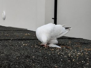 Image of a white dove with grey wing feathers and feathered feet eating seed on a flat roof