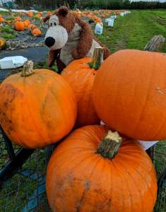 Image of brown teddy bear sitting on top of 4 large pumpkins in a crate at edge of pumpkin field