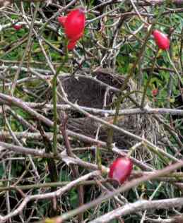 Image of mud lined circular stick bird's nest in thorny branches with three red rose hips around