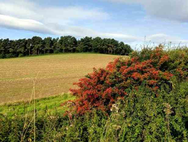 Image of ploughed field with trees and sky behind and hedge with red berries on in foreground