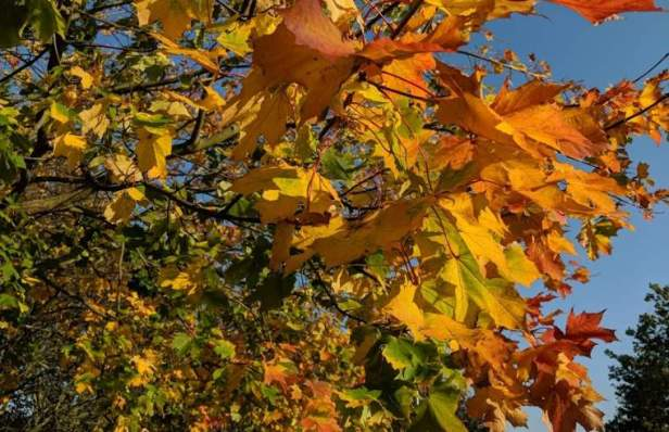 Image of red, yellow and orange sycamore leaves on branches against blue sky