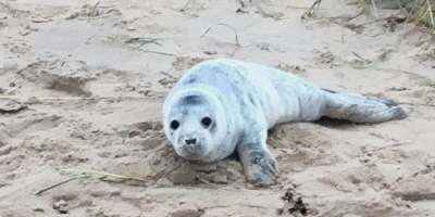 Image of abandoned grey seal pup with white fur lying on sand