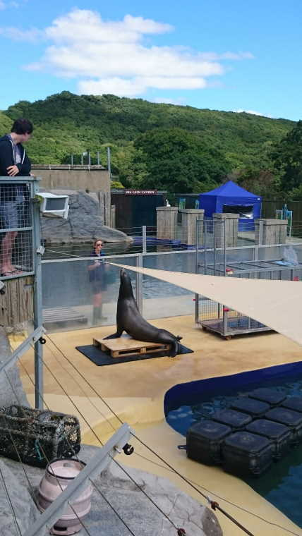 Image of sea lion enjoying enrichment exercises in the pool at the Gweek seal sanctuary, Cornwall, UK