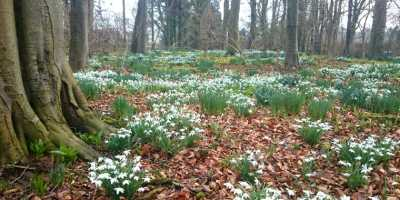Image of carpet of snowdrops in woodland snowdrop trail