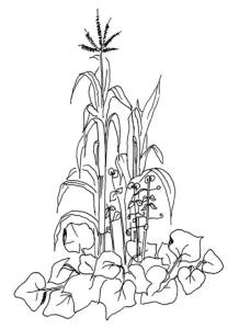 Black and white illustration of corn, beans and squash growing in Three Sisters vegetable bed