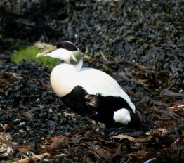 eider-duck-male-waling-on-seaweed-northumberland