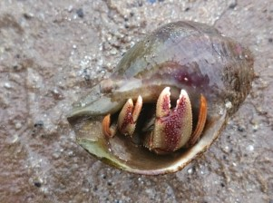 hermit-crab-in-whelk-shell-northumberland