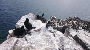 shag-chicks-on-nest-overlooking-precipitous-cliffs-with-other-seabirds