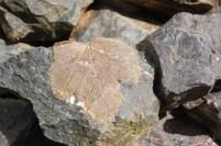 sycamore-skeleton-leaf-on-rocks