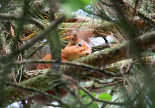 red-squirrel-looking-sideways-down-at-camera-from-pine-tree
