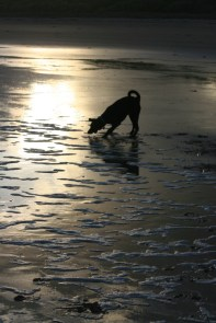 silhouette-of-dog-on-wet-sand-playing-with-ball