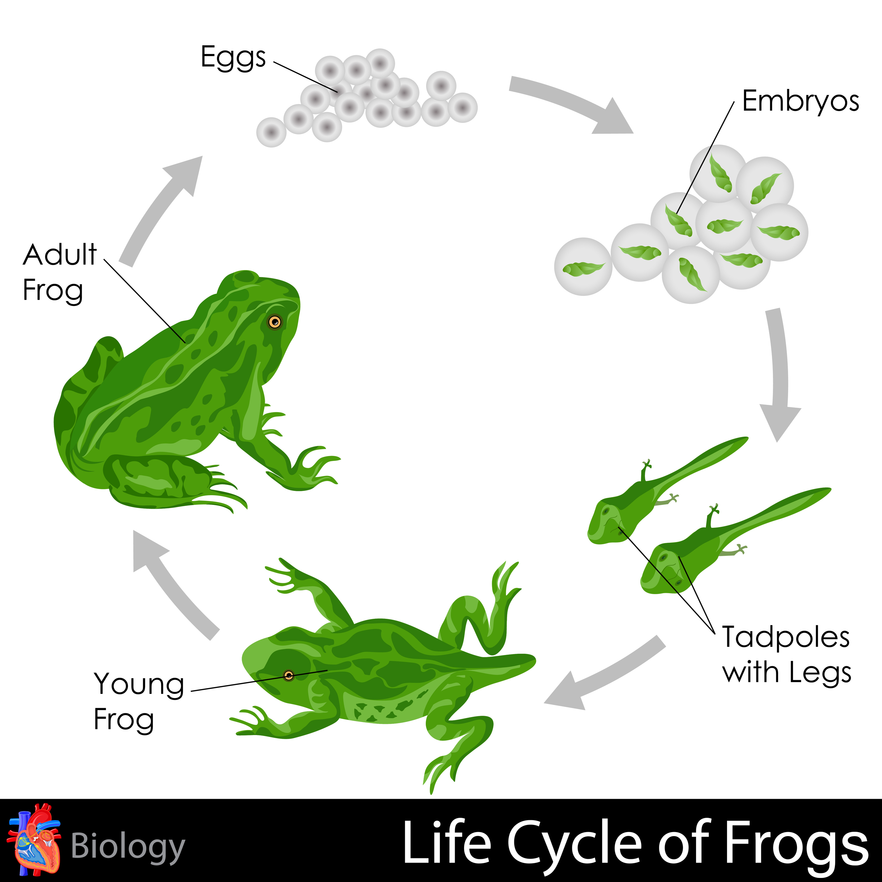 Worksheet Life Cycle Of A Frog Worksheet Grass Fedjp