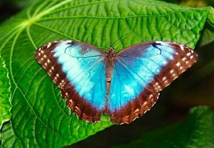 Morpho Butterfly in Costa Rica- Kid World Citizen
