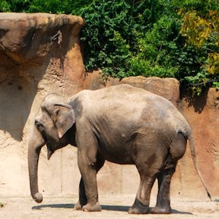 Asian Elephant from St Louis Zoo- Kid World Citizen
