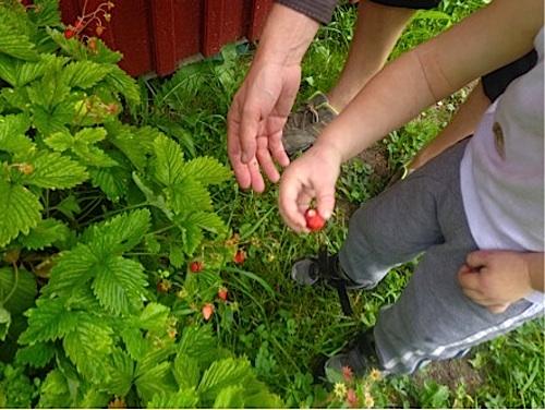 Sweden Picking Berries- Kid World Citizen