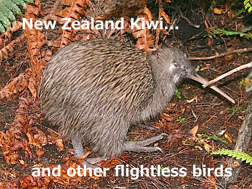 Flightless Birds Of New Zealand And Australia