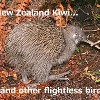 The Flightless Birds of New Zealand and Australia