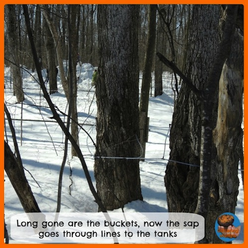 Maple Sap Lines- Kid World Citizen