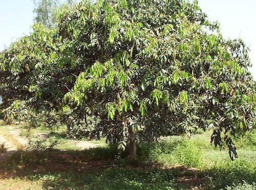 Pacay Tree Full Grown- Kid World CItizen