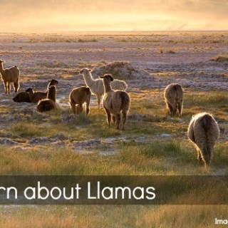 Llama Facts Chile- Kid World Citizen