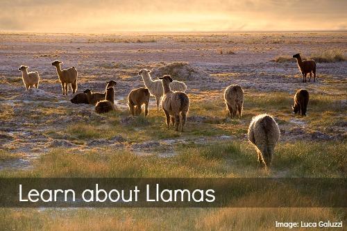 Llama Facts Chile- Kid World Citizen