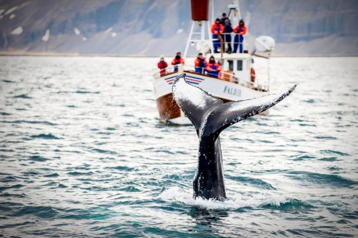 Travel Iceland with Kids Whale-Watching- Kid World Citizen
