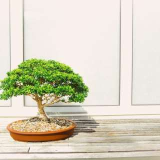 Bonsai Plants Basics for Kids