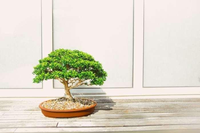 Bonsai Plants Basics For Kids Kid World Citizen