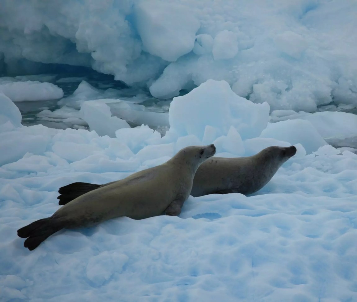 Crabeater Seals in the Lemaire Channel, Antarctica