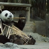 Giant Panda Facts For Kids - Learn All About Pandas