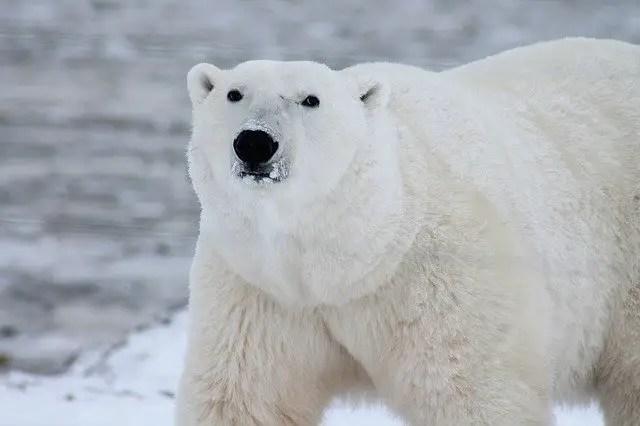 Polar bear facts for kids