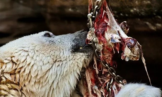 what do polar bears eat