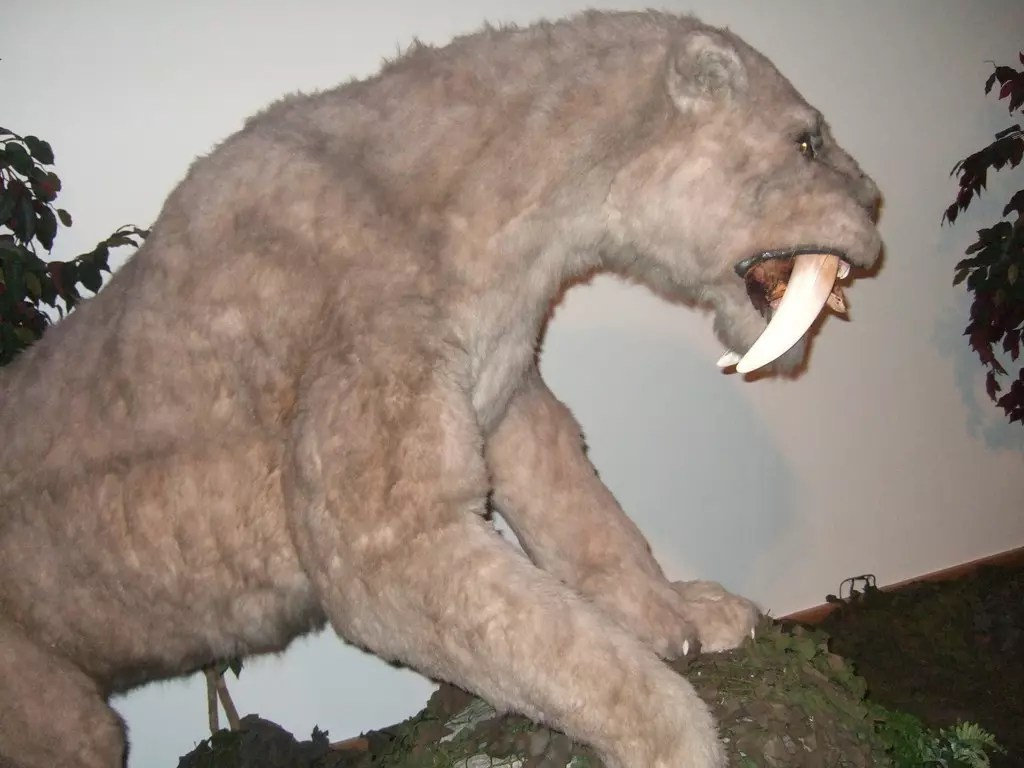 What does a Saber Tooth Tiger Look Like