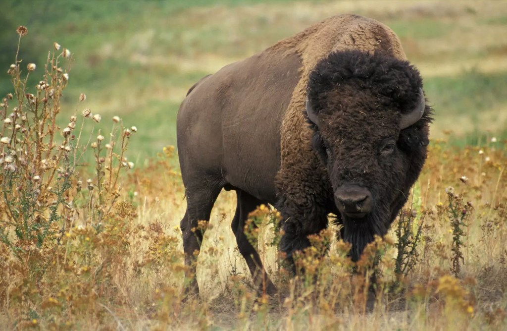 American Bison - What do Saber Tooth Tigers Eat