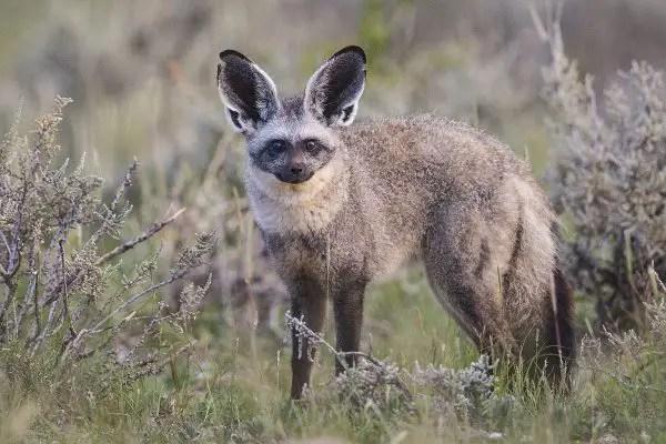 Bat Eared fox Cheetah Diet